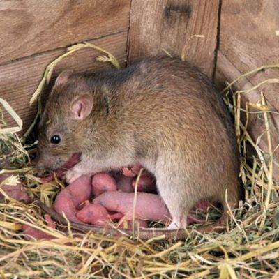 Patkány kicsinyeivel